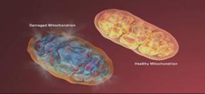 mitocondrii1